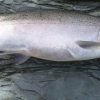 steelheadflyfishingtips.com_steelhead_walnut creek9-9lbs steelhead