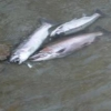 steelheadflyfishingtips.com_steelhead_walnut creek4