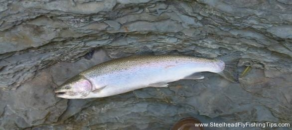 steelheadflyfishingtips.com_steelhead_walnut creek7