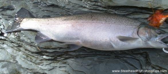 steelheadflyfishingtips.com_steelhead_walnut creek10-9lbs steelhead