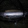 steelheadflyfishingtips.com_steelhead3
