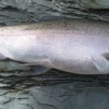 steelheadflyfishingtips.com_steelhead_walnut creek10-9lbs steelhead